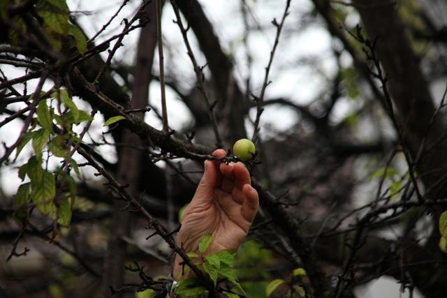 Kışın Ortasında Erik Ağacı Meyve Verdi galerisi resim 1