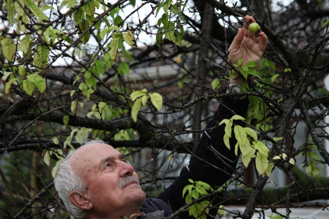 Kışın Ortasında Erik Ağacı Meyve Verdi galerisi resim 10