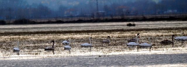 Kuğular Kışı Kızılırmak'ta Geçiriyor galerisi resim 2