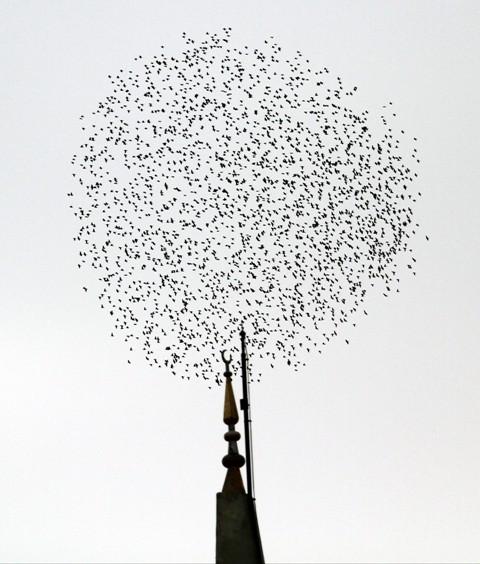 Gökyüzünde Sığırcık Şöleni  galerisi resim 1