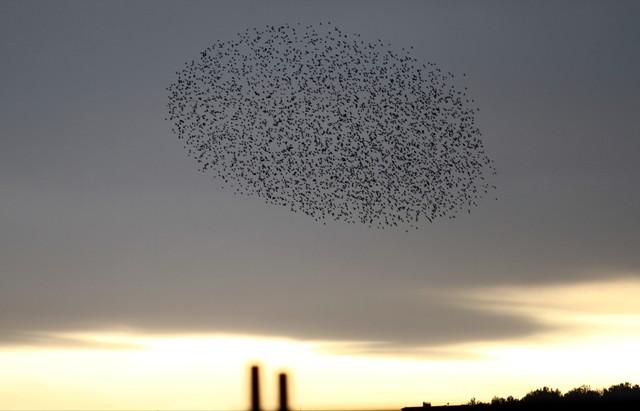 Gökyüzünde Sığırcık Şöleni  galerisi resim 6