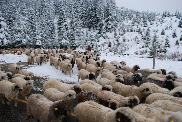 Koyunları üşütmemek için erken dönüyorlar galerisi resim 2