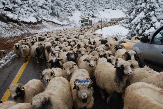 Koyunları üşütmemek için erken dönüyorlar galerisi resim 3