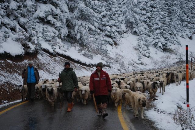 Koyunları üşütmemek için erken dönüyorlar galerisi resim 7
