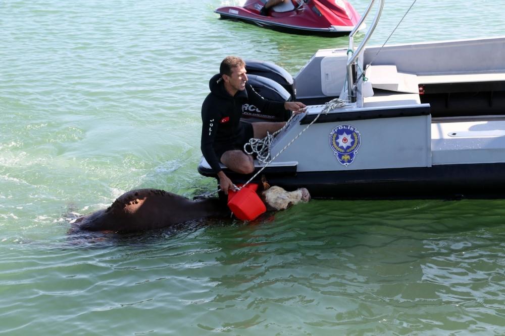 Samsun Deniz Polisinden Tosun Operasyonu! galerisi resim 2