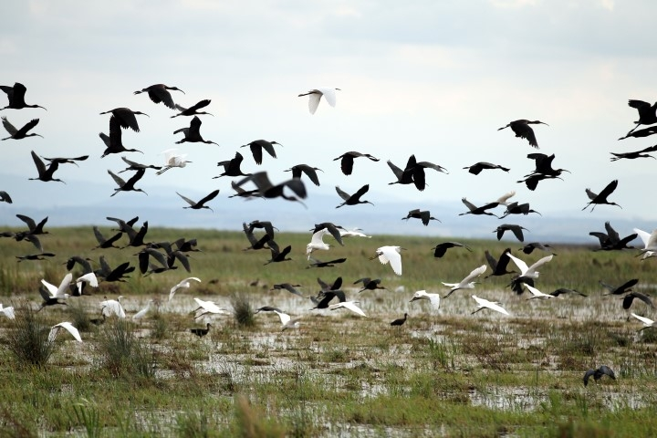 """Samsun Kızılırmak Deltası'ndaki Göçmen Kuşlar """"Özgür"""" Uça galerisi resim 3"""