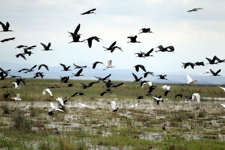 """Samsun Kızılırmak Deltası'ndaki Göçmen Kuşlar """"Özgür"""" Uça galerisi resim 4"""
