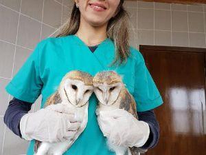 Peçeli baykuşlar tedavi sonrası doğaya bırakılacak