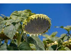 Samsun Havza Yağlı Tohumlar Tarım Satış Kooperatifi Ayçiçek Alımını Sürdürüyor