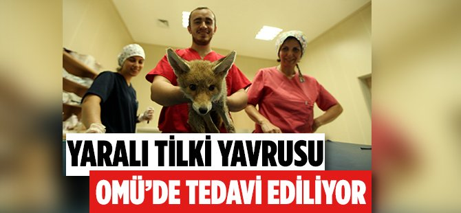 Samsun'da Ormanlık Alanda Yaralı Halde Bulunan Tilki Yavrusu OMÜ'de Tedavi Ediliyor