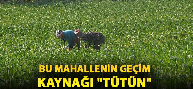"Samsun'da Bu Mahallenin Geçim Kaynağı ""Tütün"""