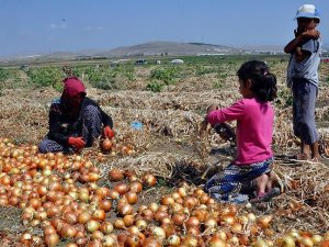 Soğan Üreticisinin Umudu İhracatta