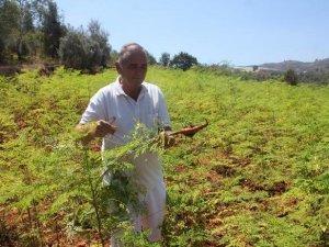 Şifa Ve Vitamin Kaynağı Moringa Ağacı Üretiyor