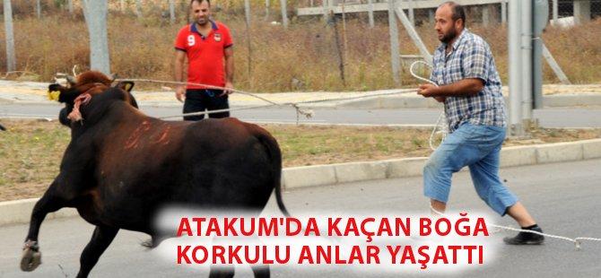 Samsun'da Kaçan Boğa Zor Anlar Yaşattı