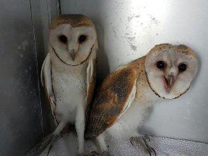 Samsun  Kızılırmak Deltası'nda Peçeli Baykuşlar Tedavi Sonrası Doğaya Bırakılacak