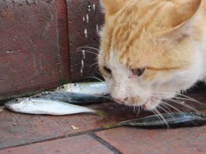 Samsun'da Balıkçıları, Kedileri İstavritle Besliyor