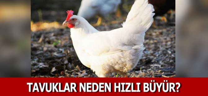 """""""Tavukların Hızlı Büyümelerinin Nedeni Genetik Çalışmalar"""""""