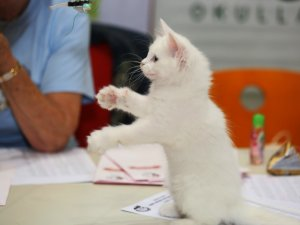 Dünyanın En Güzel Kedileri Birincilik İçin Yarıştı