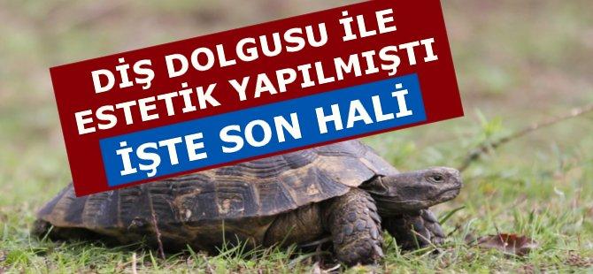 Samsun'da Diş Dolgusu İle Estetik Yapılan Kaplumbağa Sağlığına Kavuştu