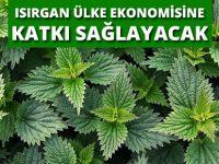 Samsun OMÜ'de Yürütülen Proje İle Isırgan Ülke Ekonomisine Katkı Sağlayacak