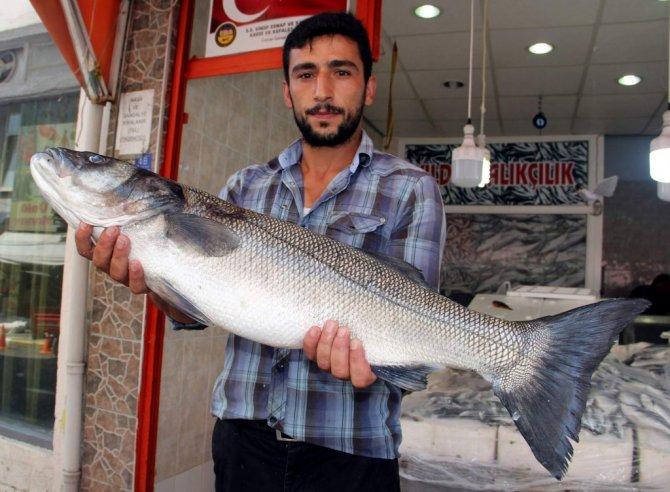 Sinop'ta 8 Kiloluk Levrek Yakalandı