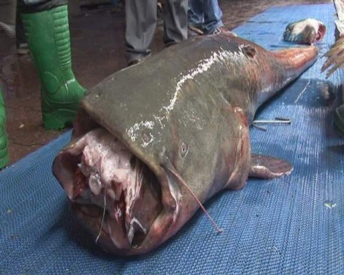 Balıkçılar 2.5 Metrelik Yayın Balığı Yakaladı