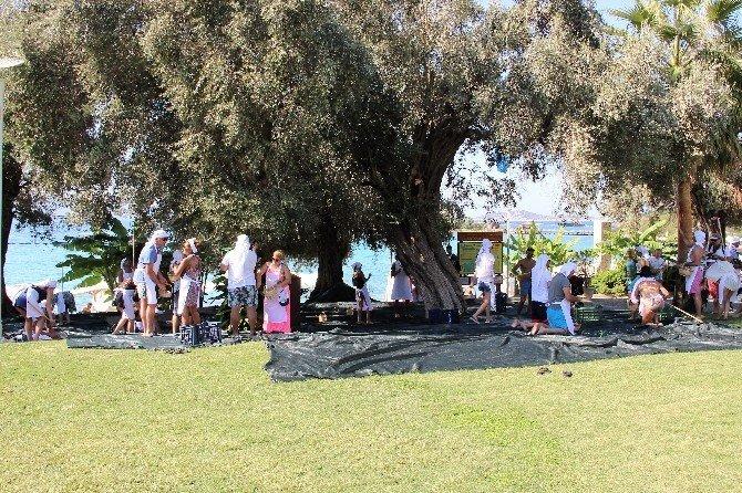 Bodrum'da Turistler Tatili Bırakıp Zeytin Topladı