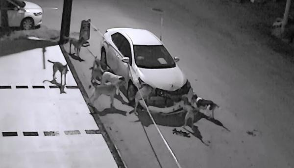 Sakarya Sokak Köpekleri Otomobili Parçaladı