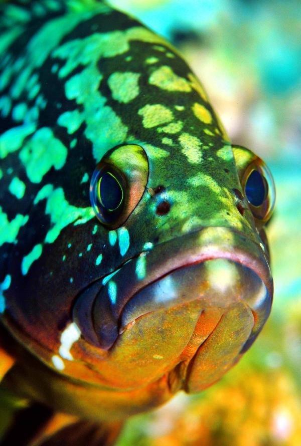 Orfoz Balığı Avlamak Yasaklandı